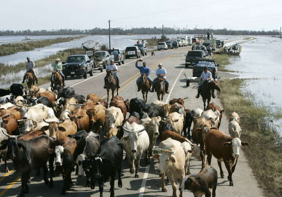 Cattle are herded on the Bolivar Peninsula. The ranchers were trying to get the cows to fresh water this week. Photo: EARL NOTTINGHAM, Texas Parks/Wildlife