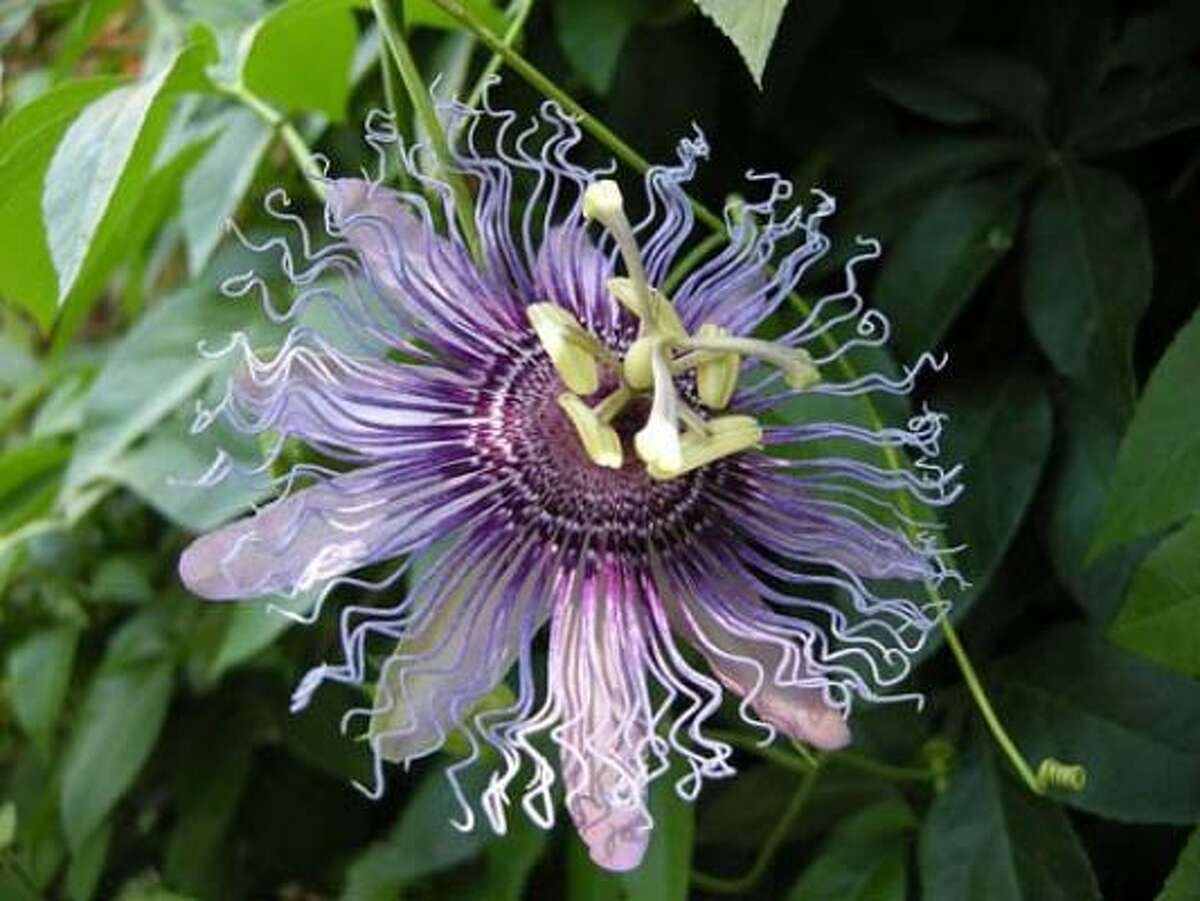 Passiflora 'Incense': Among summer's gaudiest performers, passion flowers display their parts with brash abandon.