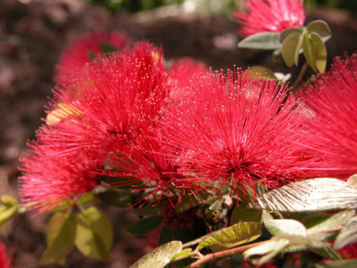 Calliandra emarginata: Only 2- to 3-feet tall and covered with feathery, mimosalike leaflets, fairy duster may come across as delicate. But this little shrub responds to Texas' heat with its own brand of fireworks.