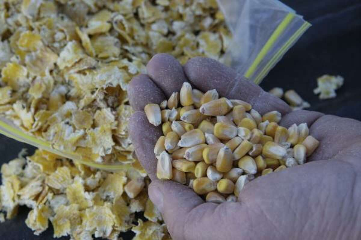 John Van Pelt, manager of Tulia Feedlot, holds whole corn that will be steam-processed and crushed to become an ingredient in cattle feed.