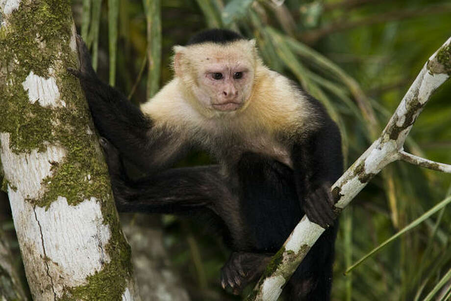A white-faced capuchin monkey perches for a moment in a tree in southern Costa Rica. Photo: Kathy Adams Clark, Kath