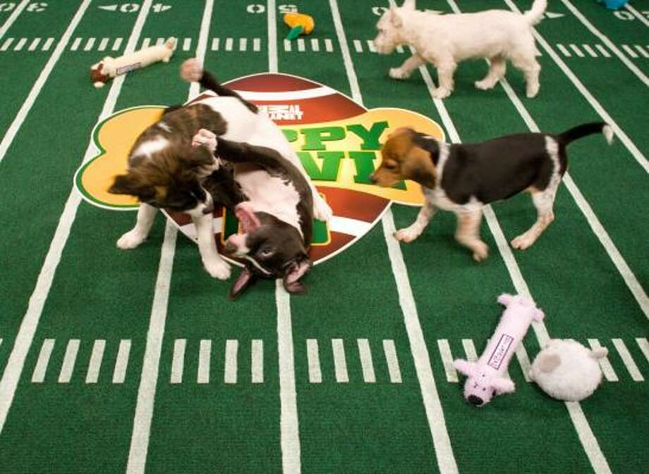 A couple of pups go to the turf during filming of the Puppy Bowl. Photo: David S. Holloway, DISCOVERY CHANNEL