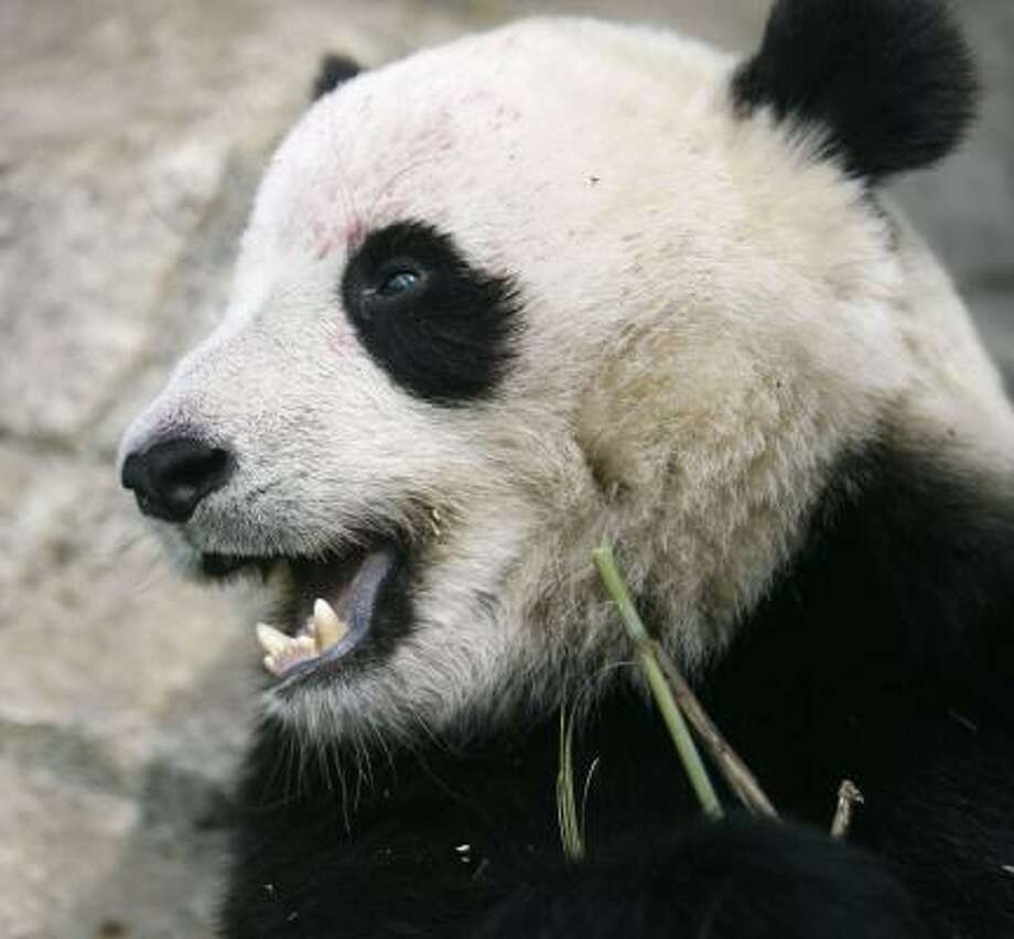 Two-year-old Tai Shan was born at the National Zoo. Photo: Jacquelyn Martin, ASSOCIATED PRESS FILE