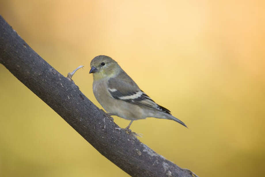 They may be small, but American goldfinches are happy to sing for their supper. Photo: Kathy Adams Clark