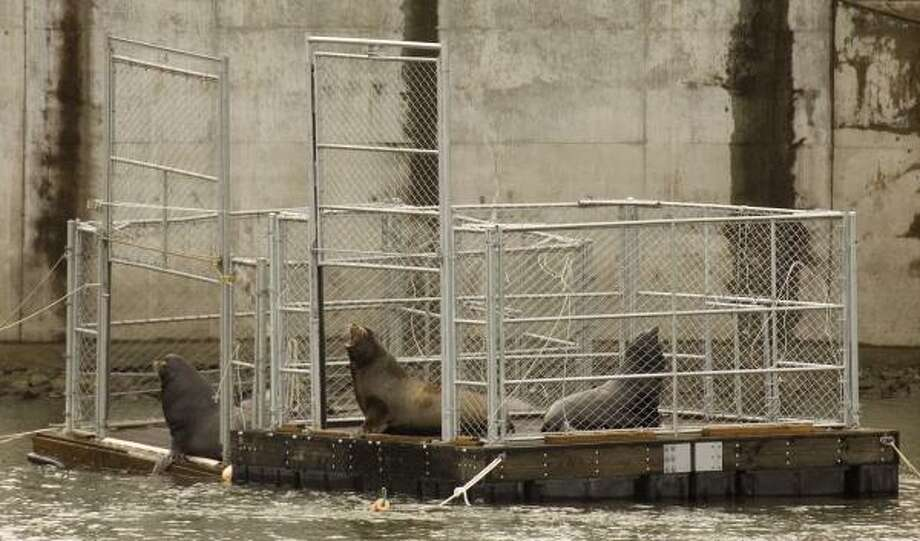 These sea lions, trapped at the base of the Bonneville Dam, were moved 145 miles away to the mouth of the Columbia River. Photo: DON RYAN, ASSOCIATED PRESS