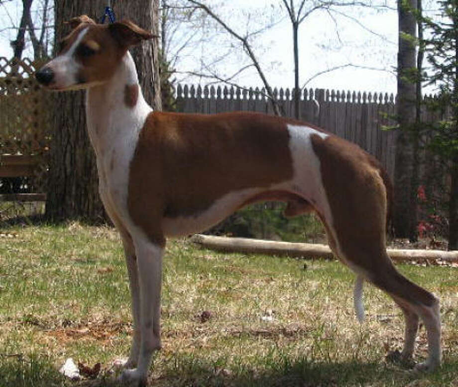 Rocco, an Italian greyhound, competed in the Westminster Kennel Club Dog Show.