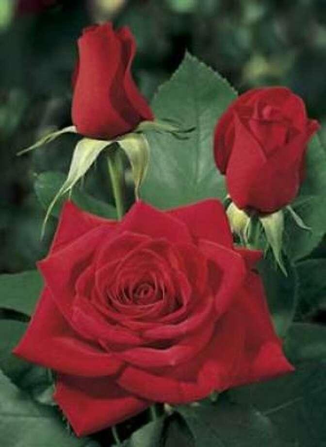 'Olympiad' red rose Photo: Jackson & Perkins