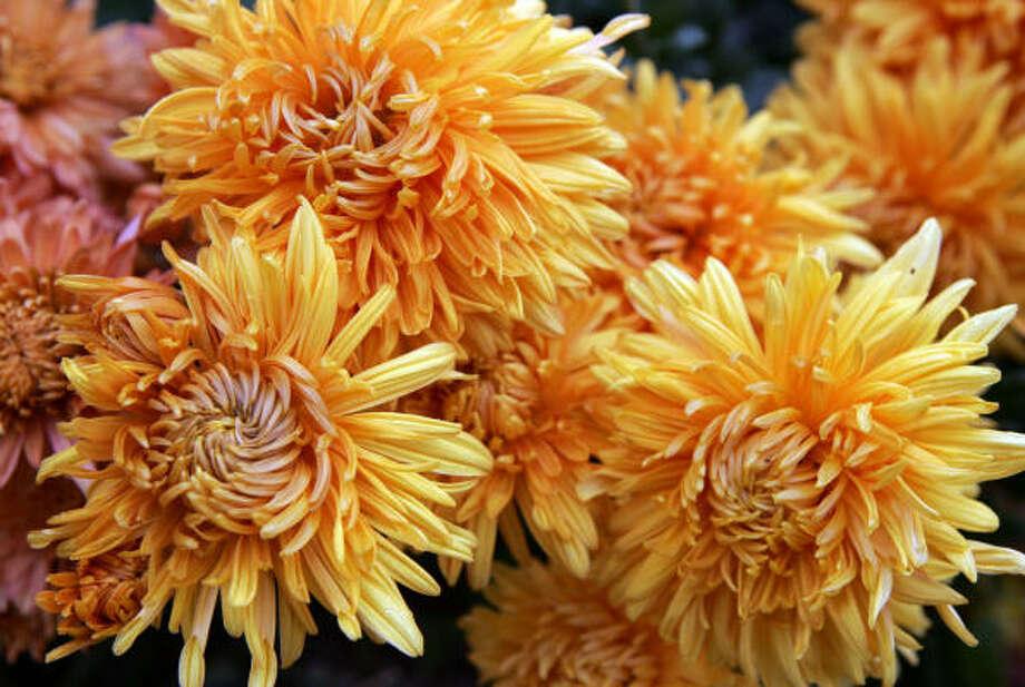 Chrysanthemum 'Coral Cavali' Photo: Barbara L. Johnston, MCT