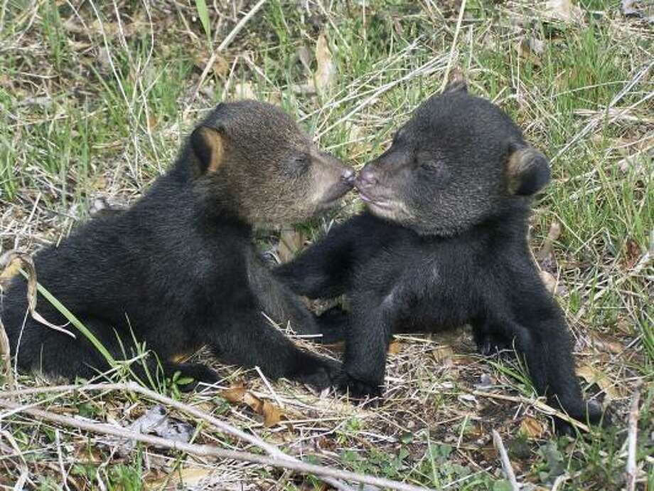 Two Louisiana black bear cubs cuddle at the Tensas River National Wildlife Refuge in northeast Louisiana. Photo: AP/ Black Bear Conservation Committee