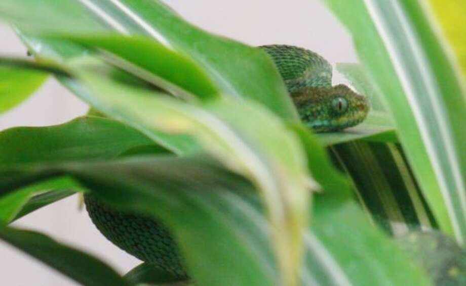 Moody Gardens employees X-rayed five other snakes looking for this bush viper. They finally found him hiding in plain sight. Photo: MOODY GARDENS