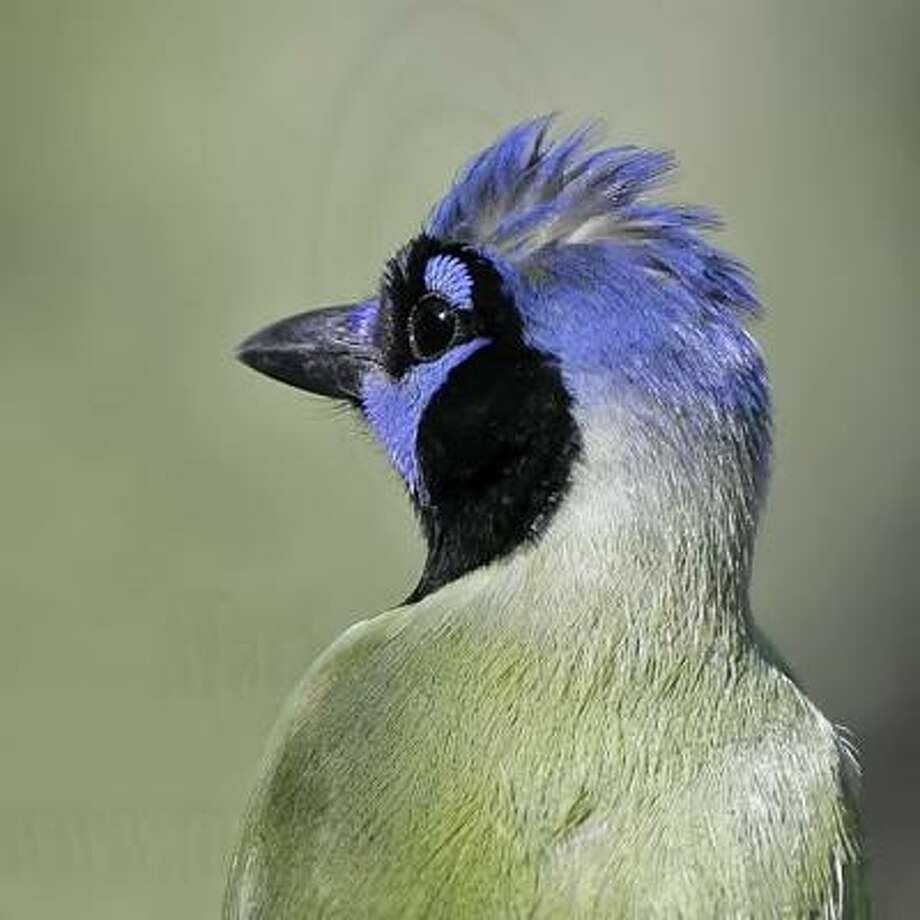 Green jays are among the many birds found at Estero Llano Grande State Park. Photo: Texas Parks & Wildlife