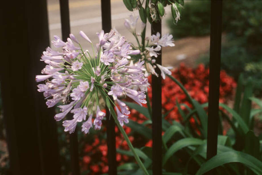 Agapanthus Photo: BRENDA BEUST SMITH, For The Chronicle
