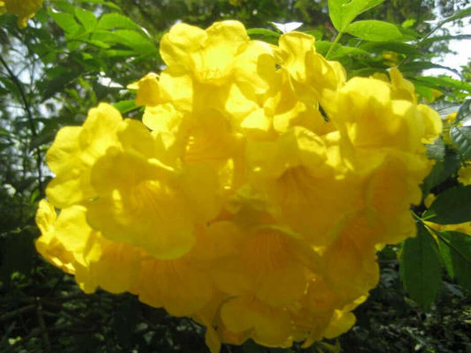 Yellow bells Photo: Kathy Huber, Chronicle