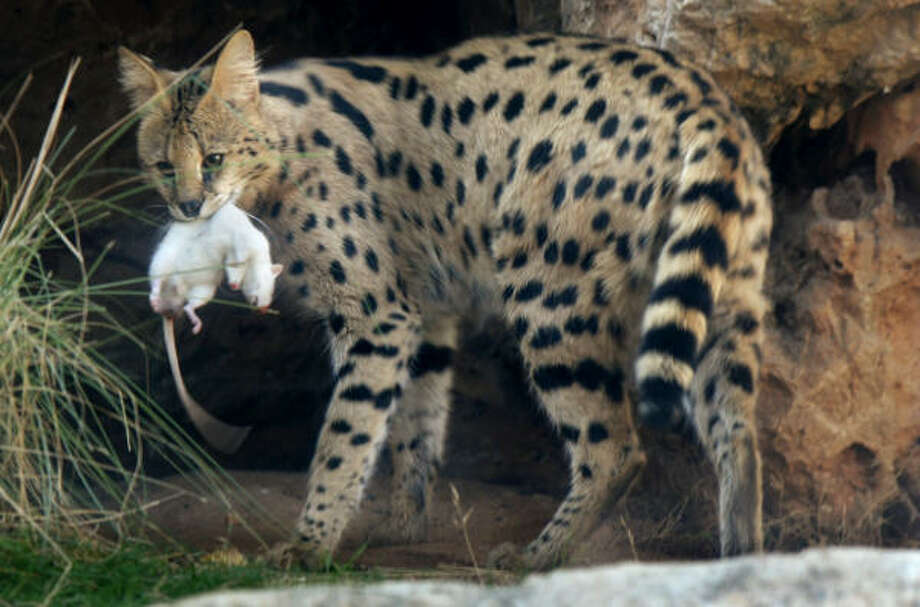 Where Can I Buy A Savannah Cat In Texas