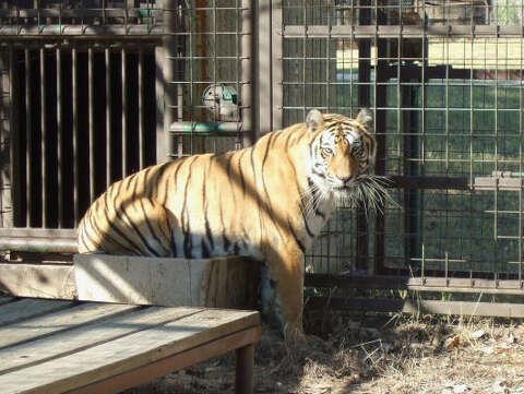 Big cats doing well at refuges post-Hurricane Ike - Houston Chronicle
