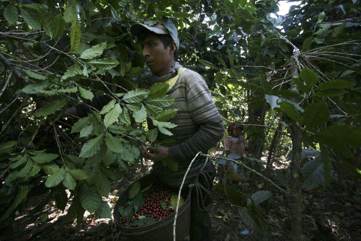 A worker picks coffee at Finca El Zapote in Acatenango, Guatemala.
