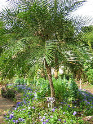 Why Are My Date Palm Fronds Browning Houston Chronicle