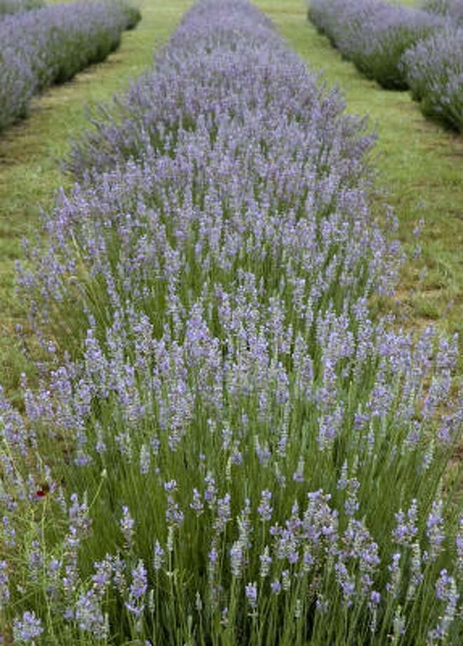 Lavender time in the Hill Country - Houston Chronicle