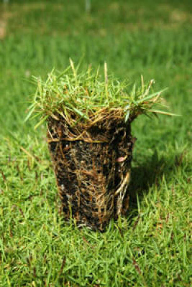 Shadow Turf is a new variety of hardy, drought-tolerant turfgrass that grows well under the shade of trees. Photo: Texas Tech University