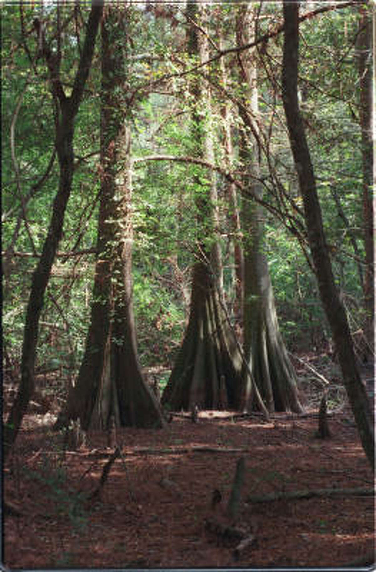 Bald cypress trees stretch toward the sky along the Post Oak Trail at the Mercer Arboretum & Botanic Gardens in Humble.