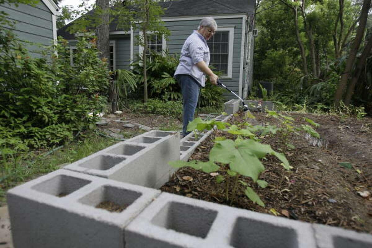 Carol Smith waters okra in her Garden Oaks backyard garden.