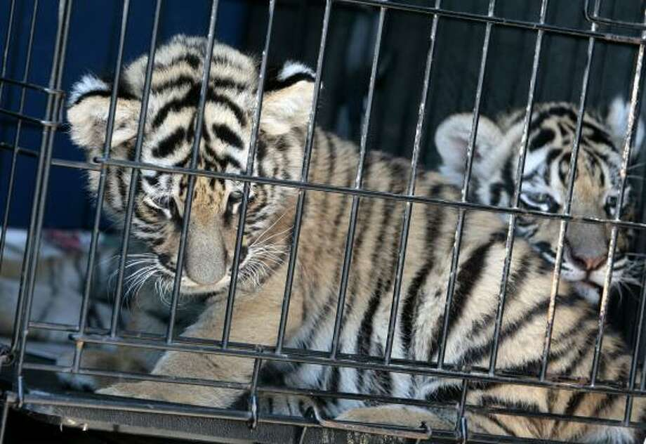 Bengal tiger cubs sit in a cage in the back of a truck in McAllen on Sunday. Federal agents are investigating an alleged attempt to sell six of the endangered Bengal tiger cubs. Authorities said the cubs appeared to be headed for Mexico. Photo: NATHAN LAMBRECHT PHOTOS, THE MONITOR