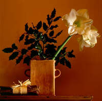 10 frequently asked amaryllis questions