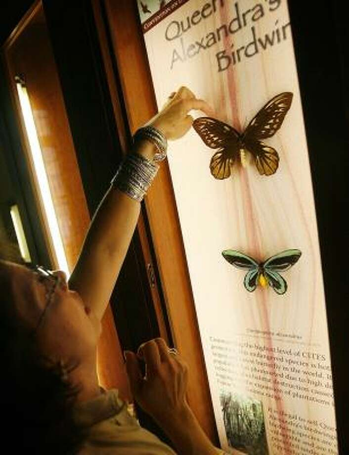 Cokie Bauder, an employee of the Audubon Insectarium, adjusts a Queen Alexandra's Birdwing butterfly last week. Photo: MICHAEL DeMOCKER, TIMES-PICAYUNE