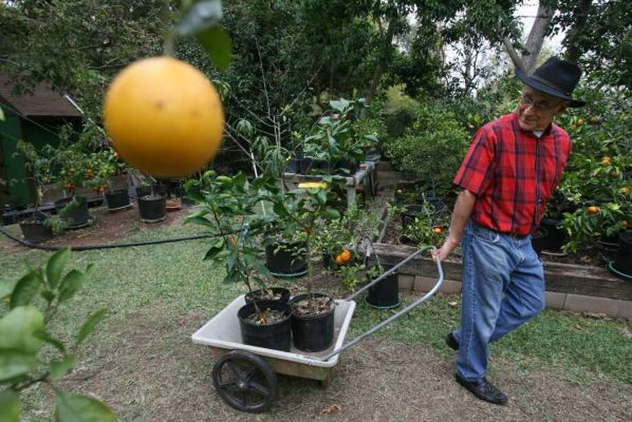 John Panzarella wheels Panzarella Orange trees to the front of his property. He grows almost 200 varieties of citrus trees in his backyard in Lake Jackson. Included are an orange and a lemon named for him. Photo: MAYRA BELTRAN, CHRONICLE