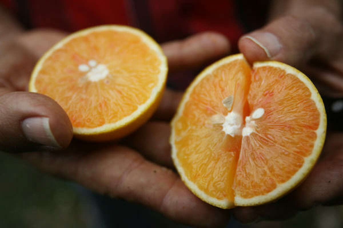 John Panzarella holds one of the almost 200 varieties of citrus fruit he grows in his backyard, most of them in pots.