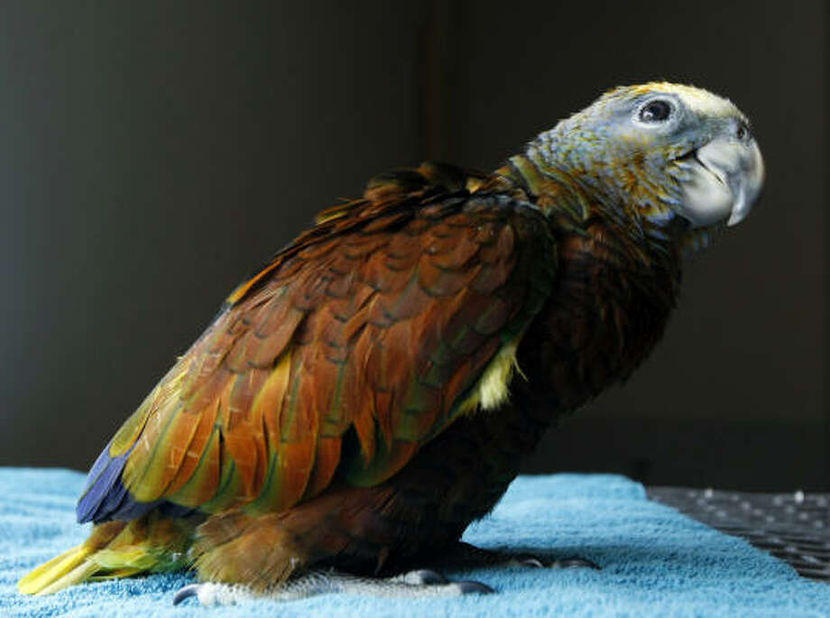Vincent is the third St. Vincent Amazon Parrot born at the Houston Zoo, the only zoo in the country to house the rare species and the first in the world to hatch the species in captivity. Photo: Kevin Fujii, Chronicle