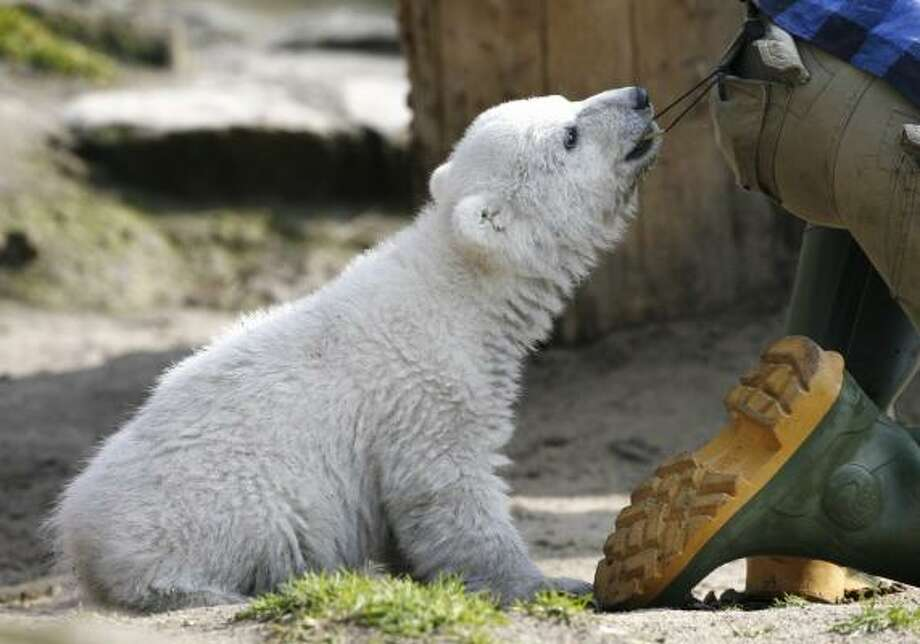 Knut, the polar bear, plays with his keeper Thomas Doerflein during the animal's first public appearance in the Berlin zoo. TV crews and children worked for a glimpse of the cub. Photo: HERBERT KNOSOWSKI, ASSOCIATED PRESS