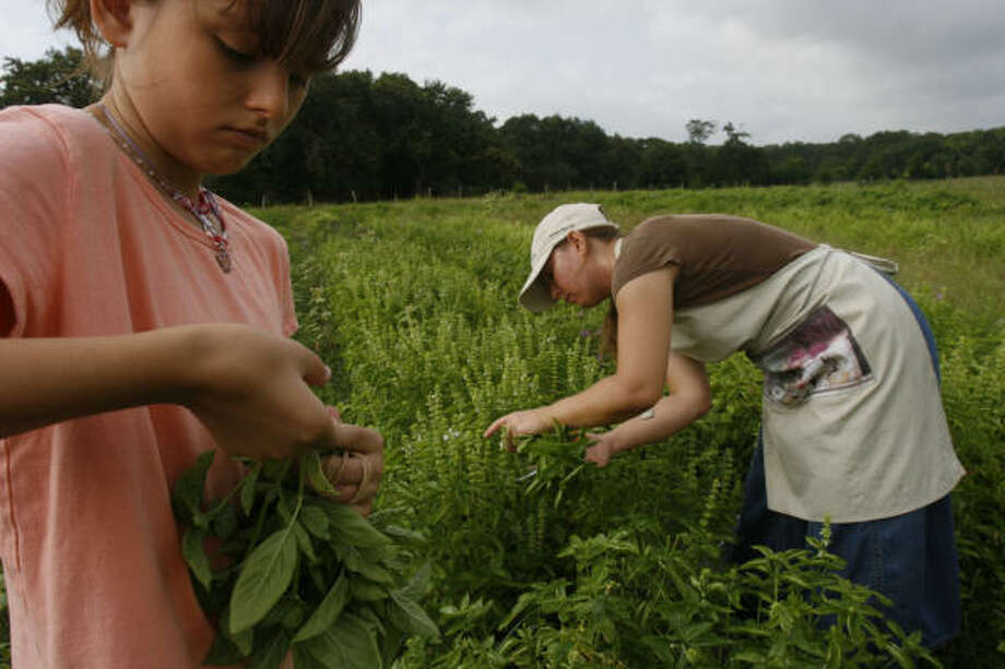 Carina Stufflebeam, 10, puts together a bundle of freshly cut basil while her mother, Jenny, clips more on the family's farm in Brenham. Photo: Johnny Hanson, For The Chronicle