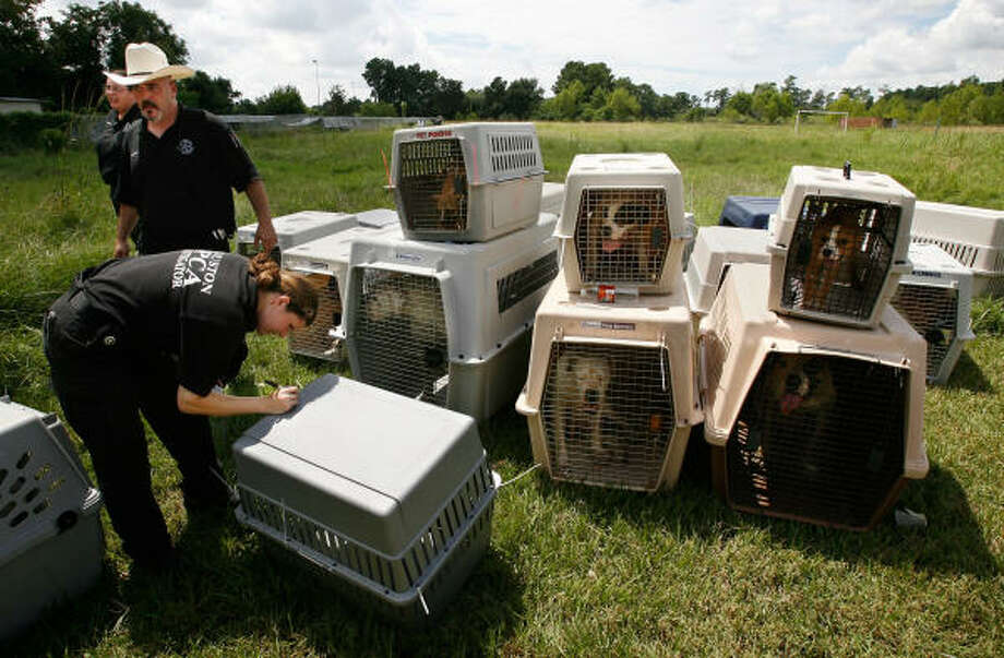 Stephan Goldman and Dana Alemengor in the background, Houston SPCA animal-cruelty investigator Sage Halford inventories bulldogs confiscated Thursday in Houston. Photo: Kevin Fujii, Chronicle