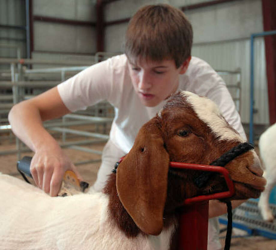 Stratford high school junior Austin Schumacher trims Lloyd the goat at the Spring Branch Independant School District Ag Center Thursday Feb. 1.( Photo: Dave Rossman, For The Chronicle