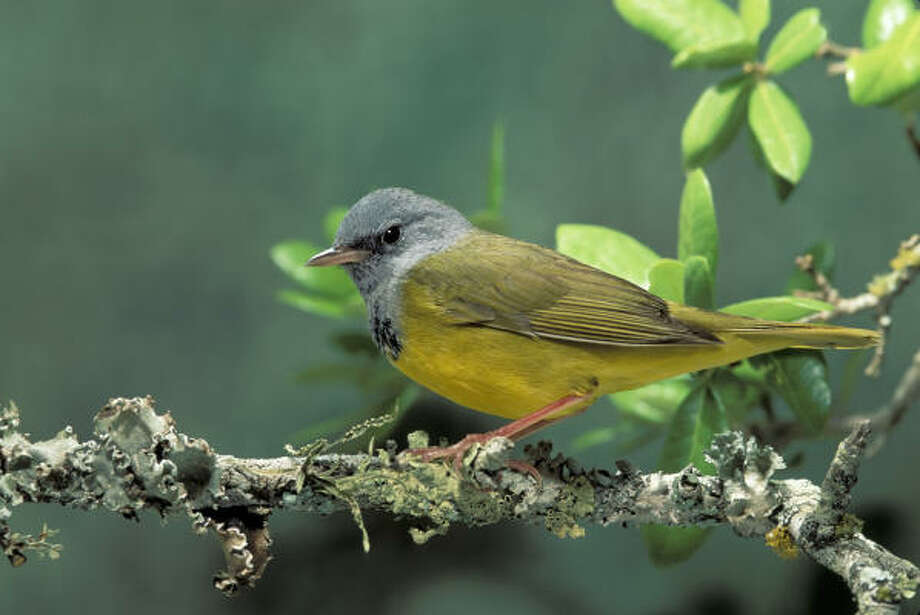 The leading wave of warbler migration is under way as birds like this mourning warbler appear in area woods. Photo: Rick Nora Bowers