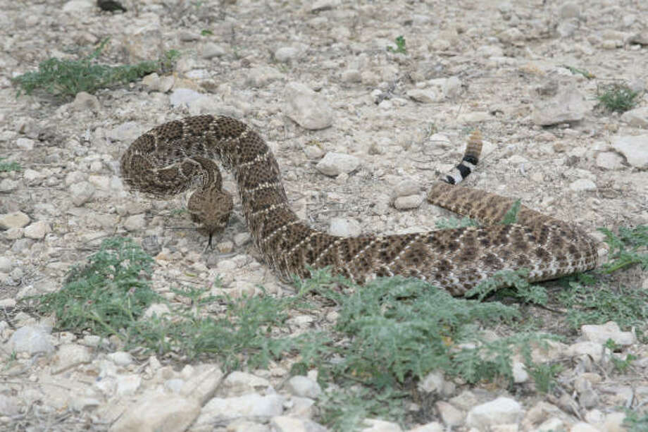 The practice of driving Texas' rural public roads and catching rattlesnakes and other wild animals will be prohibited Photo: Shannon Tompkins, Houston Chronicle