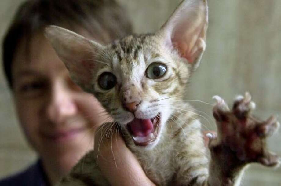 Without proper guidance, young cats can become overly aggressive. Photo: VADIM GHIRDA, ASSOCIATED PRESS