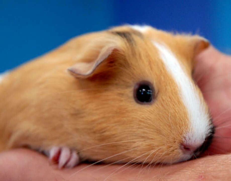 The Houston SPCA has a menagerie of animals that need homes, including hamsters, which can be yours for $5. Photo: Dave Rossman, For The Chronicle