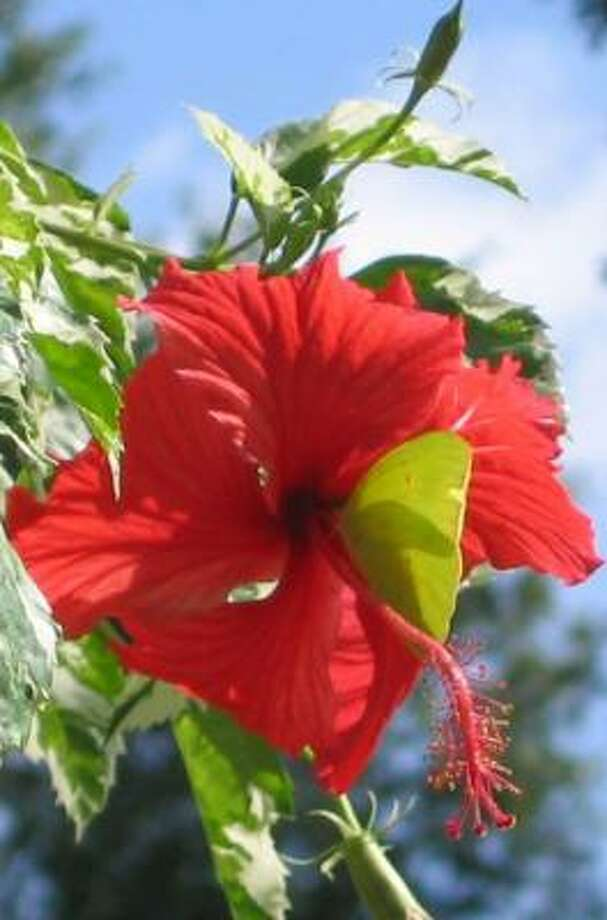 Hibiscus attracts both hummingbirds and butterflies. Photo: BRENDA BEUST SMITH, Brenda Beust Smith