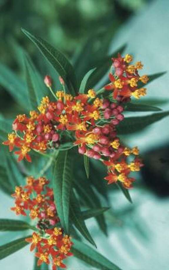 Butterfly weed, or milkweed, is a must for anyone who wants to attract butterflies. Photo: THE LAZY GARDENER'S GUIDE
