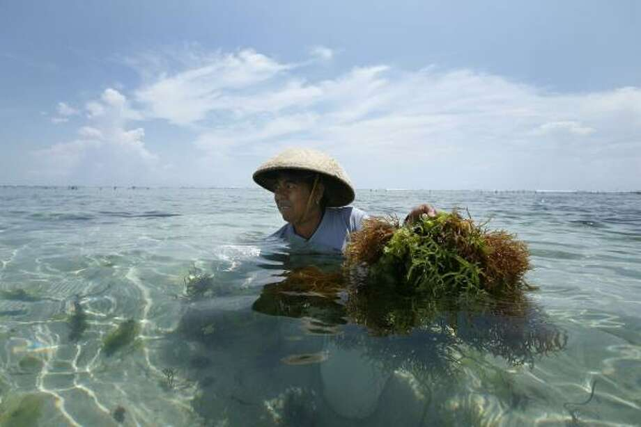 An Indonesian woman harvests seaweed at her farm off the beach in Nusa Dua, Bali, Indonesia last week. A group of scientists say seaweed and algae could remove damaging carbon dioxide out of the atmosphere at greater rates than the mightiest rain forests. Photo: ED WRAY, ASSOCIATED PRESS