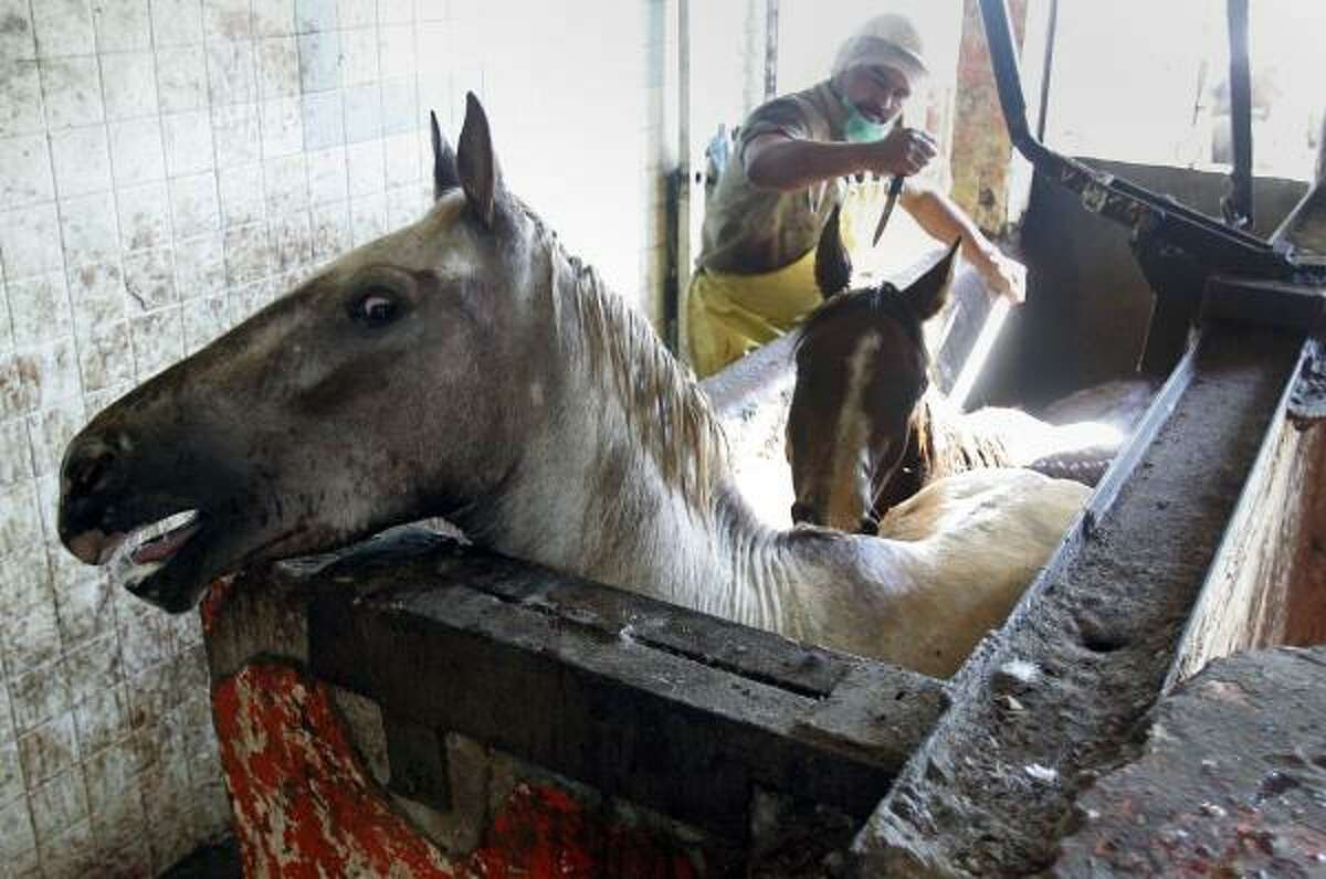Horses at the Ciudad Juarez plant are stabbed in the back until the spinal cord is severed, then hoisted so their throats can be slit.