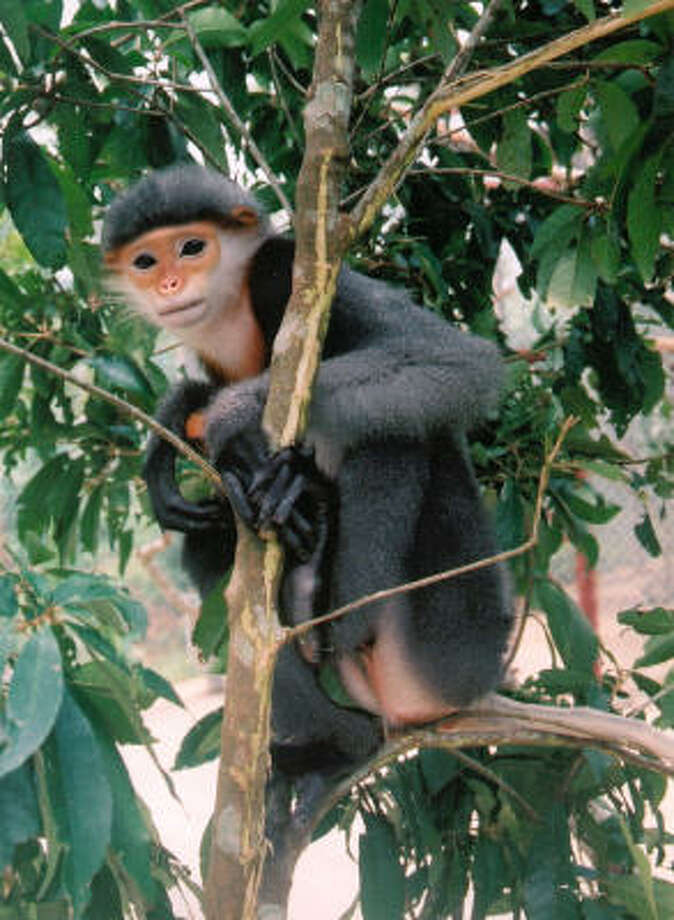 Considered one of the world's 25 most-endangered primates, the gray-shanked douc, seen here in this undated photo, has only been recorded in the five central Vietnamese provinces. Photo: Frankfurt Zoological Society, Tilo Nadler, AP File