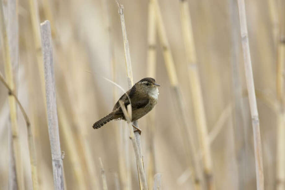 A male marsh wren scans his territory deep in the reeds at the Anahuac National Wildlife Refuge. Photo: Kathy Adams Clark