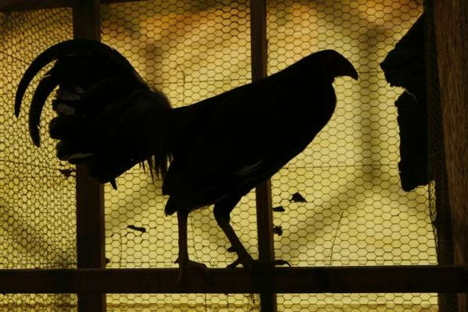 In this file photograph, birds wait to be moved from a chicken coop after a cockfighting ring bust in Splendora. Photo: Carlos Antonio Rios, Houston Chronicle