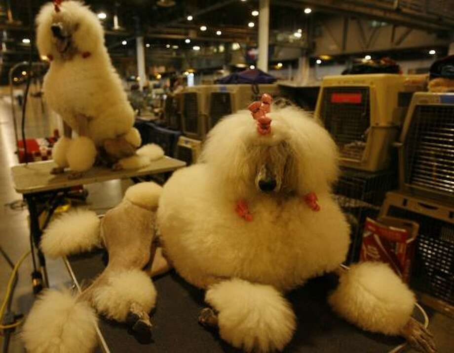 Standard poodles Tequila, right, and Quincy relax on grooming tables at Reliant Center. Photo: MELISSA PHILLIP, CHRONICLE