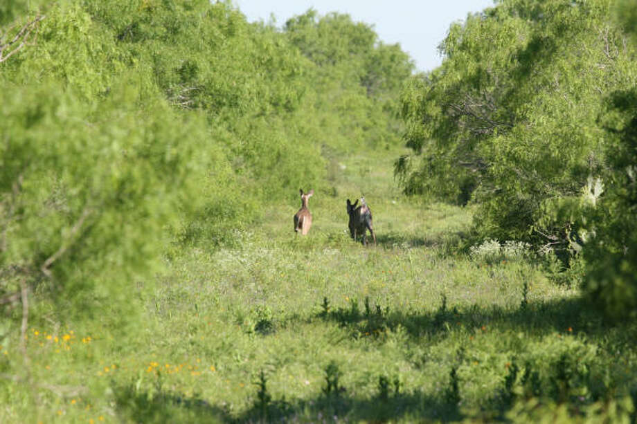 Texas wildlife such as deer are reaping the benefits from consistent rains. Photo: Shannon Tompkins, Houston Chronicle