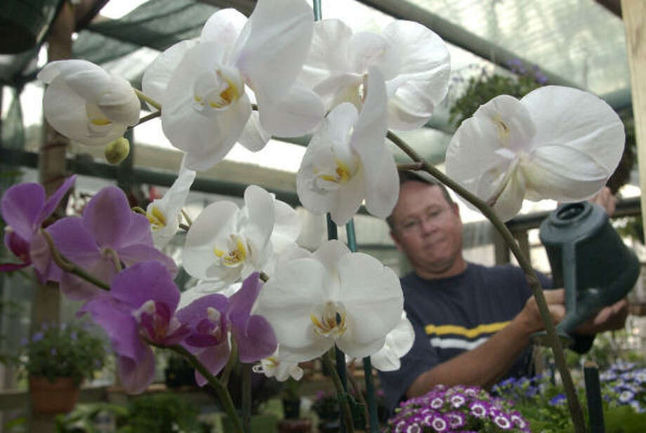 Mike Lowery, owner of Another Place in Time, waters cineraria plants among several colors of butterfly orchids or phaleonopsis. Photo: Melissa Phillip, Houston Chronicle