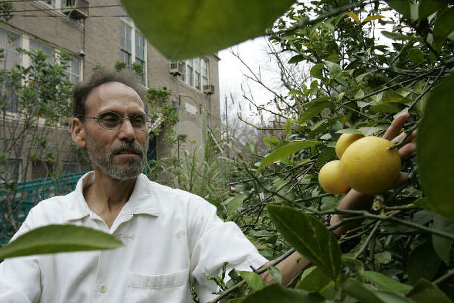Urban Harvest board member and volunteer Ray Sher holds the fruit on a Meyer lemon tree at the former Urban Harvest teaching garden at 1900 Kane in 2005. Photo: JAMES NIELSEN, CHRONICLE